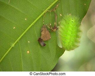 Amazonian slug caterpillar (Limacodidae) - On a leaf in the...