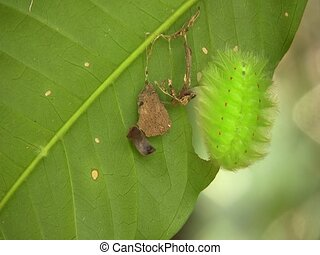Amazonian slug caterpillar (Limacodidae) - On a leaf in the...