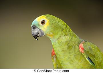 amazonka,  aestiva),  blue-fronted, papuga,  (amazona