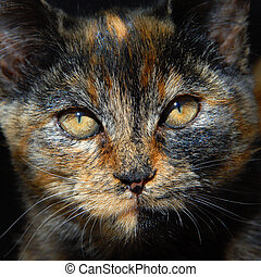 Amber Eyes in Calico Face - Kitten has unusual coloring of...