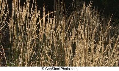 Amber glowing grasses in breeze - Amber sunlight slants...