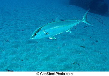 Amberjack swimming over a sandy bottom in the vicinity of an...