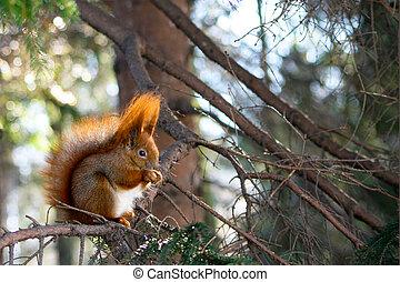 ambiente, naturale, scoiattolo, rosso