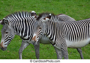 Ambling Pair of Zebras Walking Together in a Field