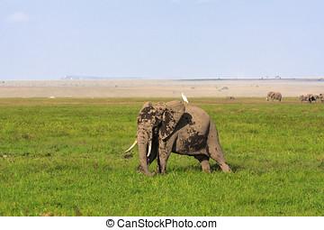 amboseli, ありなさい, 象, 国, ., 象, そして, アオサギ, 中に, ∥, savanna., kenya, アフリカ