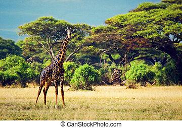 amboseli, アフリカ, サバンナ, キリン, サファリ,  kenya