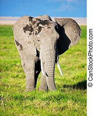 amboseli, アフリカ, サバンナ, サファリ, 象,  kenya
