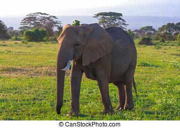 amboseli, 大きい, アフリカ, 象,  kenya, サバンナ