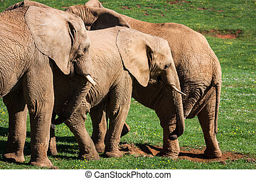 amboseli, familj, Elefanter, Afrika, savann,  Safari, afrikansk,  kenya