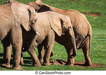 amboseli, famille, éléphants, afrique, savanna., safari, africaine, kenya