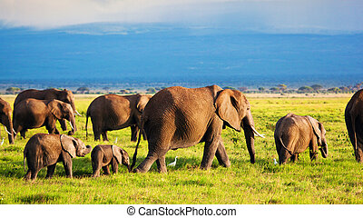 amboseli, gezin, olifanten, afrika, savanna., safari, kenia