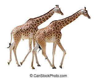 ambulante, aislado, dos, jirafas
