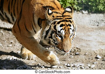ambulante, bengala, tigre, retrato, al aire libre