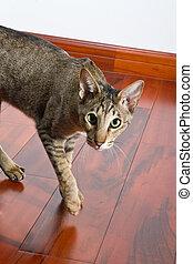 ambulante, gato, oriental, piso
