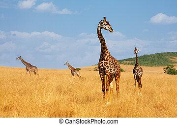 ambulante, Jirafas, sabana, Árido, manada, keniano