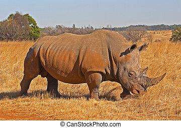 ambulante, rinoceronte