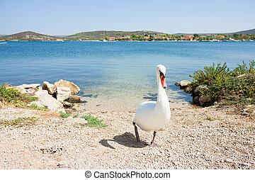 ambulante, sibenik-knin, cisne, -, croacia, playa blanca,...