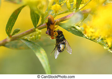 Ambush bug with common green bottle fly