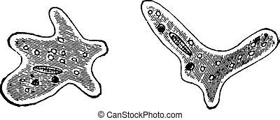 ameba, vendimia, o, ameba, engraving.