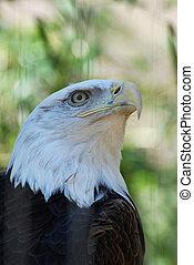 Amercan Bald Eagle