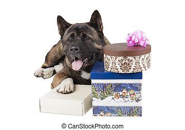 American Akita dog with Christmas gifts