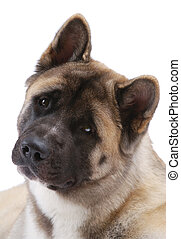 American Akita isolated on white