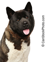 American Akita on white background - American Akita dog...
