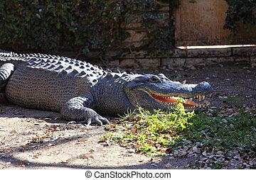 American Aligator - A body view of the American alligator,...