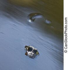 American Alligator Everglades National Park