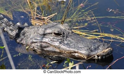 Alligator - American Alligator in the Everglades, Florida