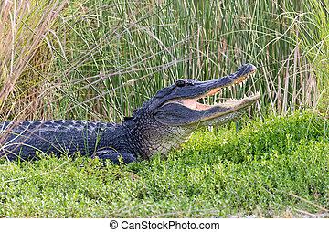 American alligator showing its teeth - Large American...