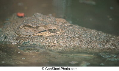 Extreme close-up low-angle still shot of camouflaged head of a huge American Alligator lurking and watching inside a water pond, America