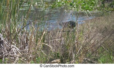 American Alligator walking - Alligator goes to the lake....