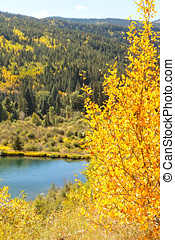 American Aspen Trees and Stream in Colorado