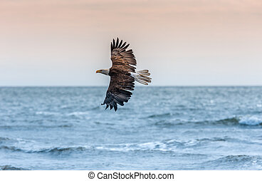 American Bald Eagle at Alaska - American Bald Eagle at ...