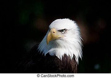 bald eagle - american bald eagle close up of head