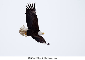 American Bald Eagle flying close to the ground.