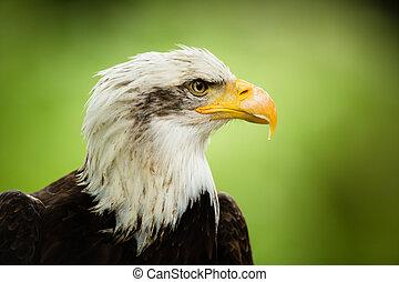 American bald eagle ((Haliaeetus leucocephalus)