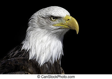 American bald eagle head close up against black background.