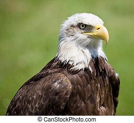 american bald eagle - image of a bird of prey over a natural...