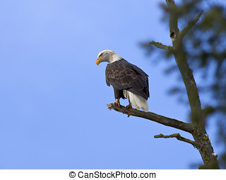 American bald eagle in a tree.