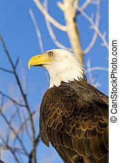 American Bald Eagle in Autumn Setting - American bald eagle...
