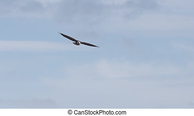 Mature Bald Eagle Soaring with clouds in the background, rises above the layer. Slow motion.