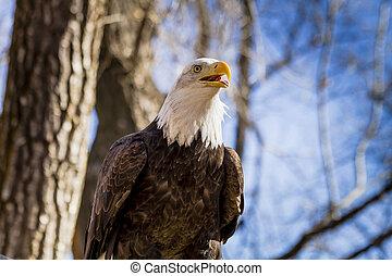 American Bald Eagle in tree