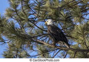American bald eagle perched in a pine tree.
