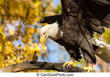 American Bald Eagle - Large bald eagle landing on tree...