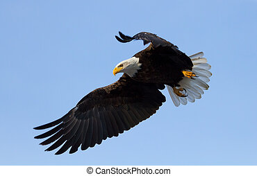 American Bald Eagle - A Bald eagle with wings spread, about...