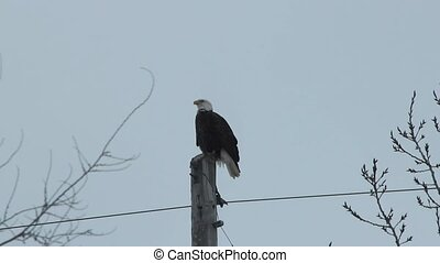 American Bald Eagle - A mature Bald Eagle sitting on top of...