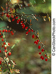 American Barberry