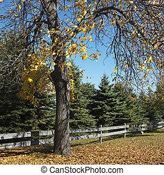 American Beech tree. - American Beech tree in Fall color in...